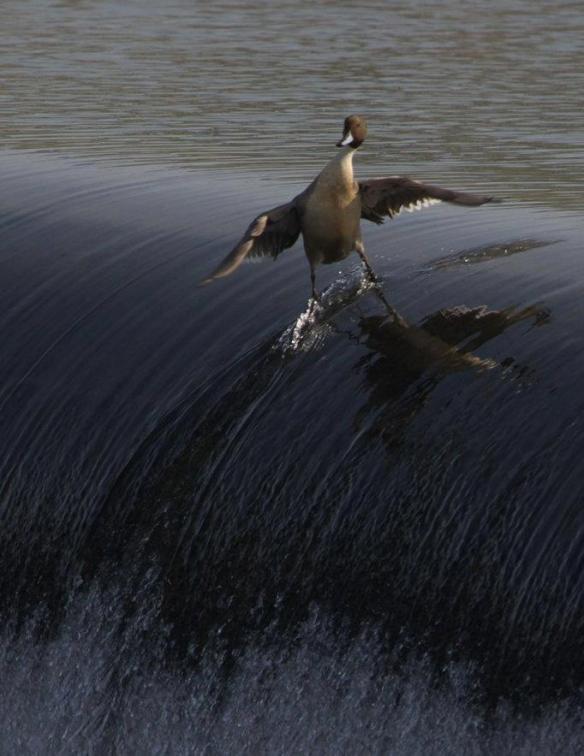 Duck Surf